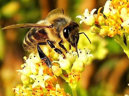 ミツバチの蜜