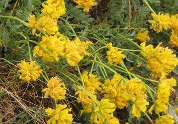 オリュンポス山・黄色い花