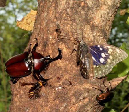 樹液に集まるカブトムシと蝶・カナブン