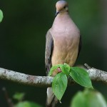 Горлица на дереве