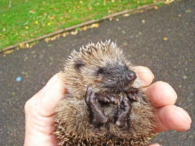 European Hedgehog - Erinaceus europaeus