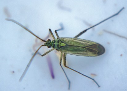Oncotylus viridiflavus ♂
