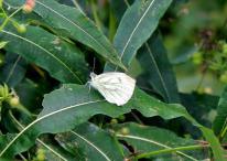 Green-veined White Pieris napi (Linnaeus, 1758)Green Viened
