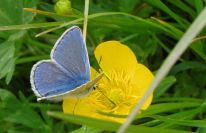 Common Blue Polyommatus icarus (Rottemburg, 1775)