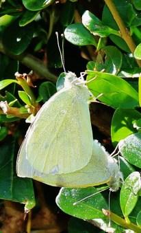 Large White Pieris brassicae (Linnaeus, 1758)
