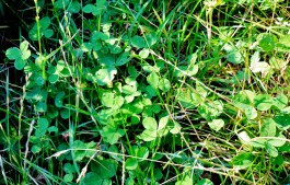 Four Leaf Clover Patch