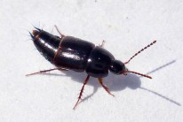 indet Tachinus signatus