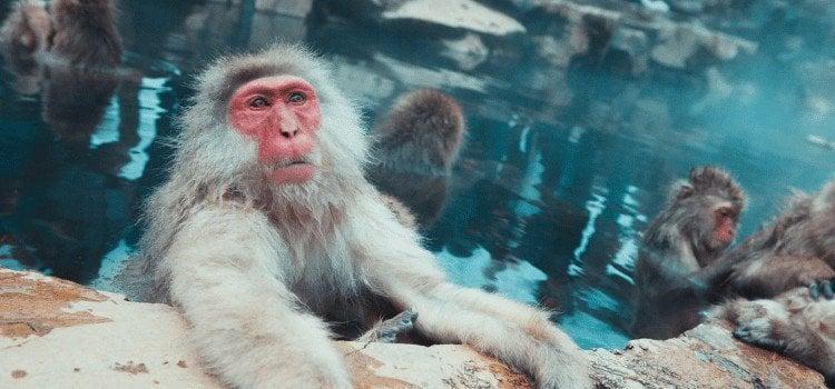 Rage - O que está acontecendo com o ser humano? - macaco onsen 3