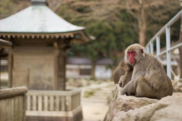 Você conhece Beppu? Veja algumas razões para visitar. - parque dos macacos takasakiyama 5