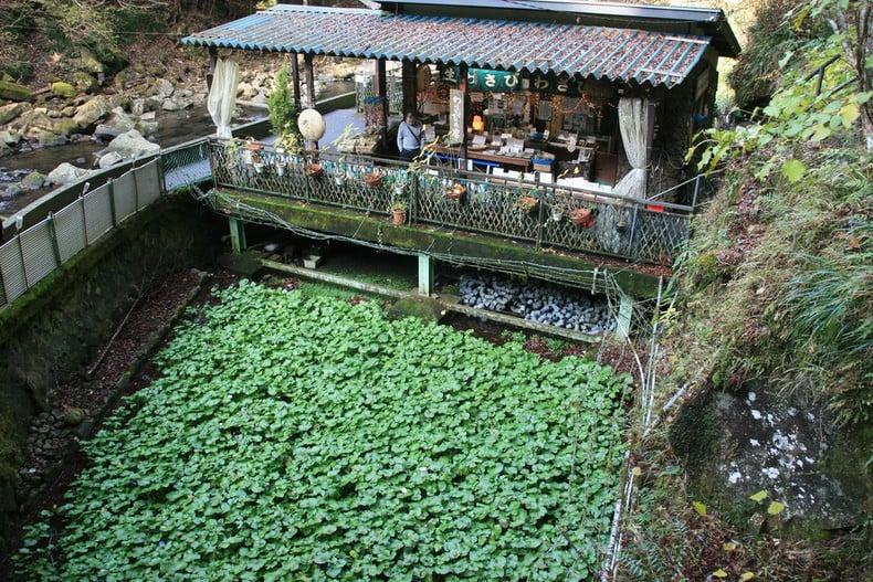 Ingredientes usado na comida japonesa - Parte 1 - planta wasabi 5