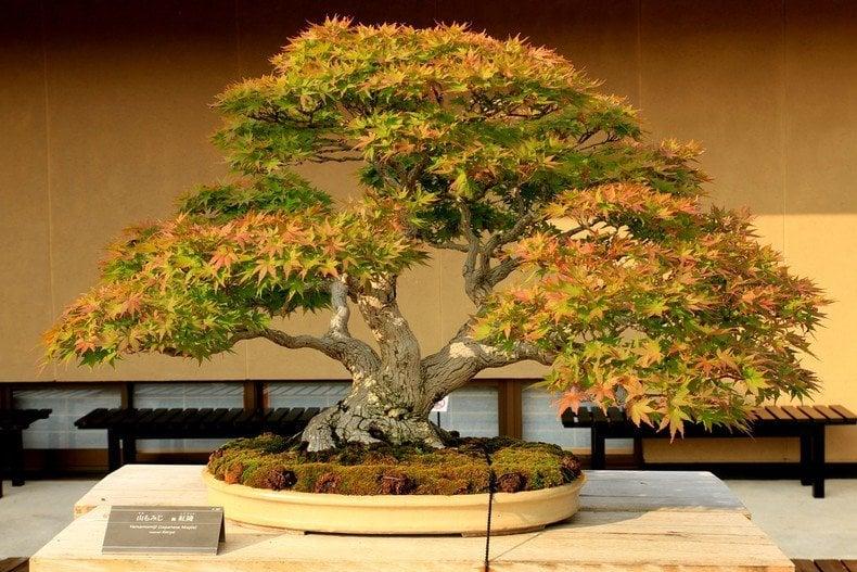 Bonsai - a arte japonesa de árvores em miniatura