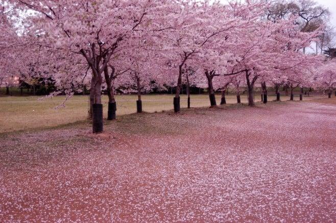 Guia hanami - apreciando as flores no japão