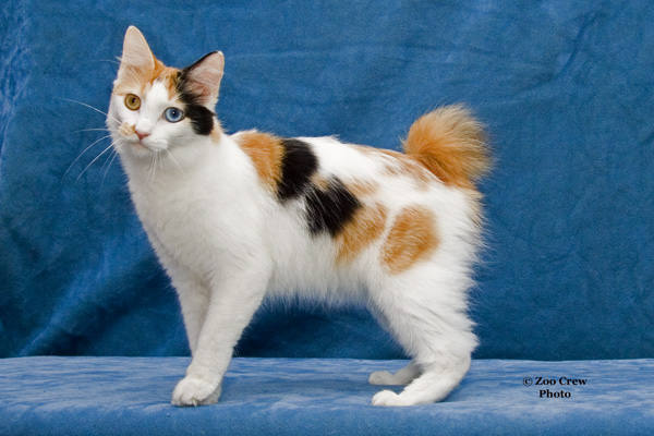 Bobtail japonês - mi-ke - gato da sorte - gato mike animal japones 1