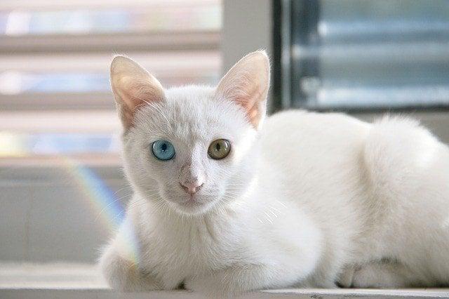 Bobtail japonés - mi-ke - gato de la suerte