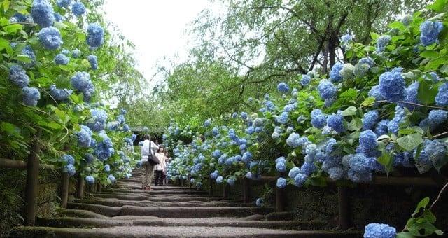 Hoa cẩm tú cầu - hoa mùa hè - hoa cẩm tú cầu