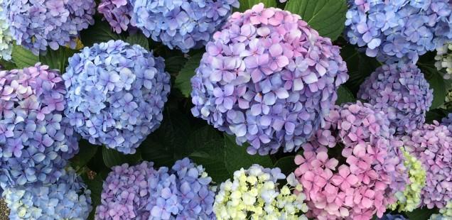 Hydrangea - The Summer Flower - Hortensia Flowers