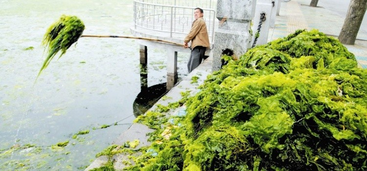 Nori - Tudo sobre a famosa alga utilizada no sushi - nori2 1