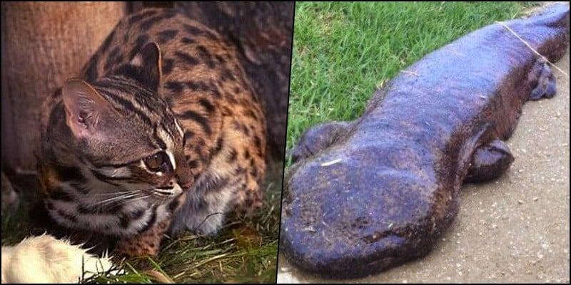 5 Animais da fauna japonesa ameaçados de extinção - esinsao 4