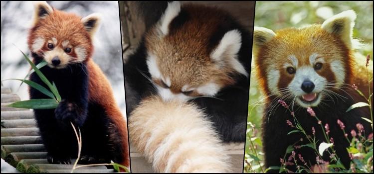 Você conhece o pequeno panda-vermelho? 1