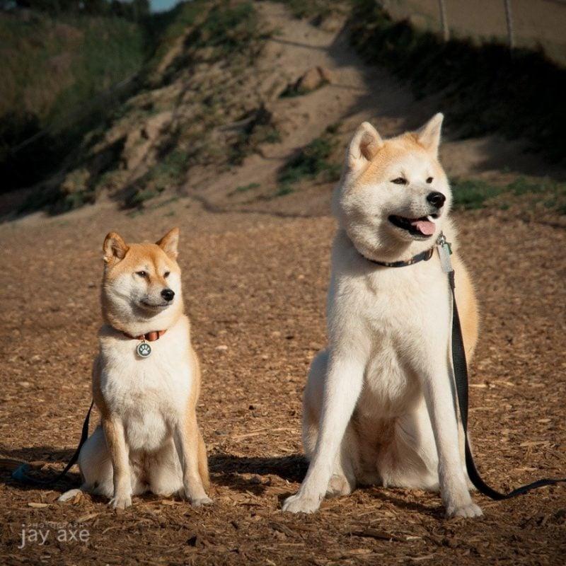 Akita inu y shiba inu - perros japoneses
