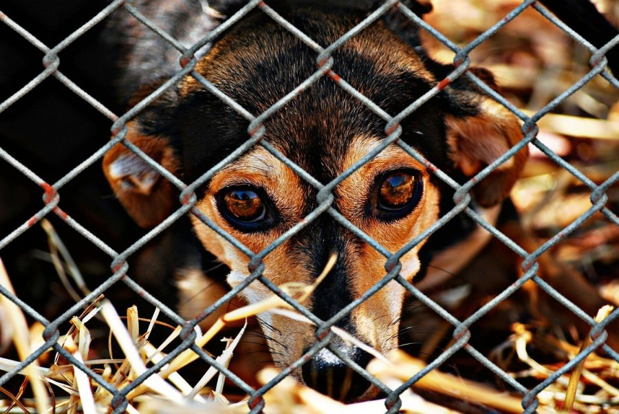 Consumo da carne de cachorro - cachorro