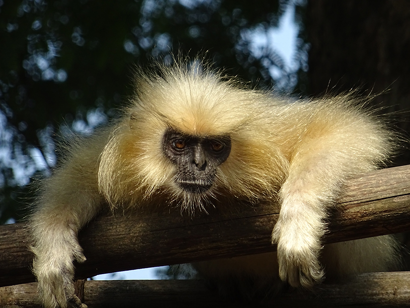 Golden Langur, Peacock Island