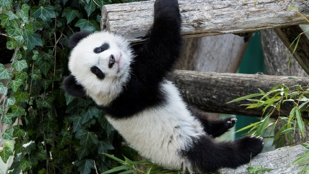 Vienna zoo panda twins venture outside for the first time