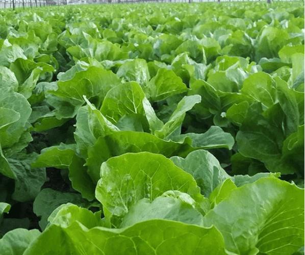 Humber's Lakeshore Campus tackling Romaine Lettuce E.Coli outbreak