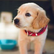 'Pandemic Puppy' trend feeding irresponsible breeders