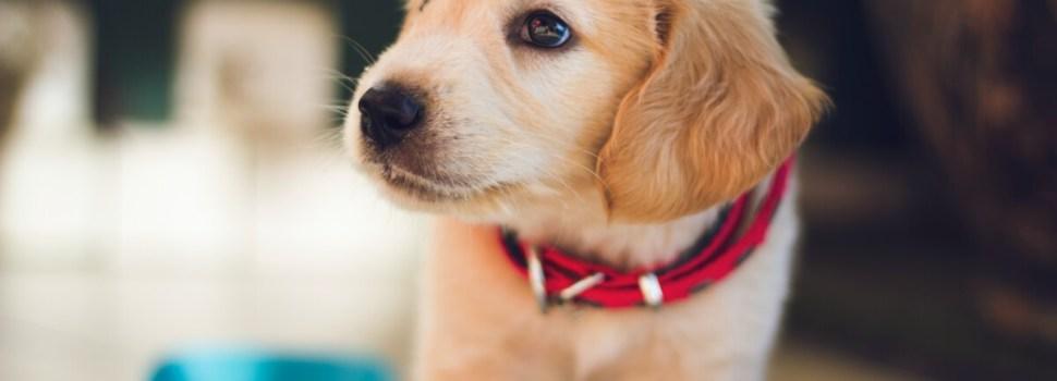 'Pandemic Puppy' trend feeding irresponsible breeders