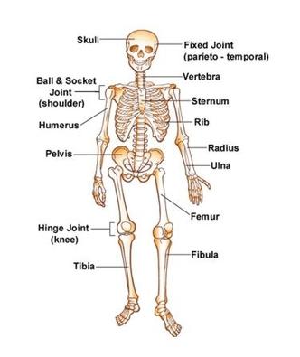 Diagram  Skeletal System