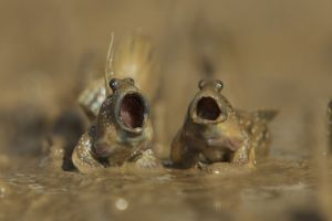 Mudskippers-got-talent-wildlife-photography-awards-winners-2017