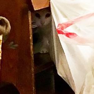 Pierogi hiding cat zoom