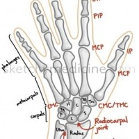 Bones and joints of the hand and wrist