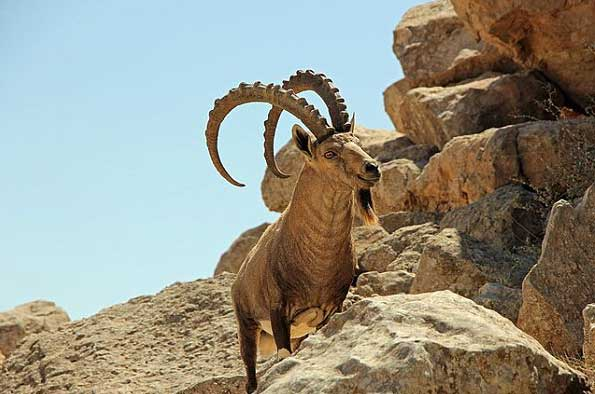 Ibex Image CC