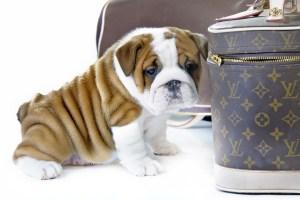 Wrinkled_Dog