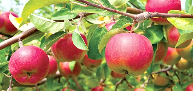 apples-on-the-vine