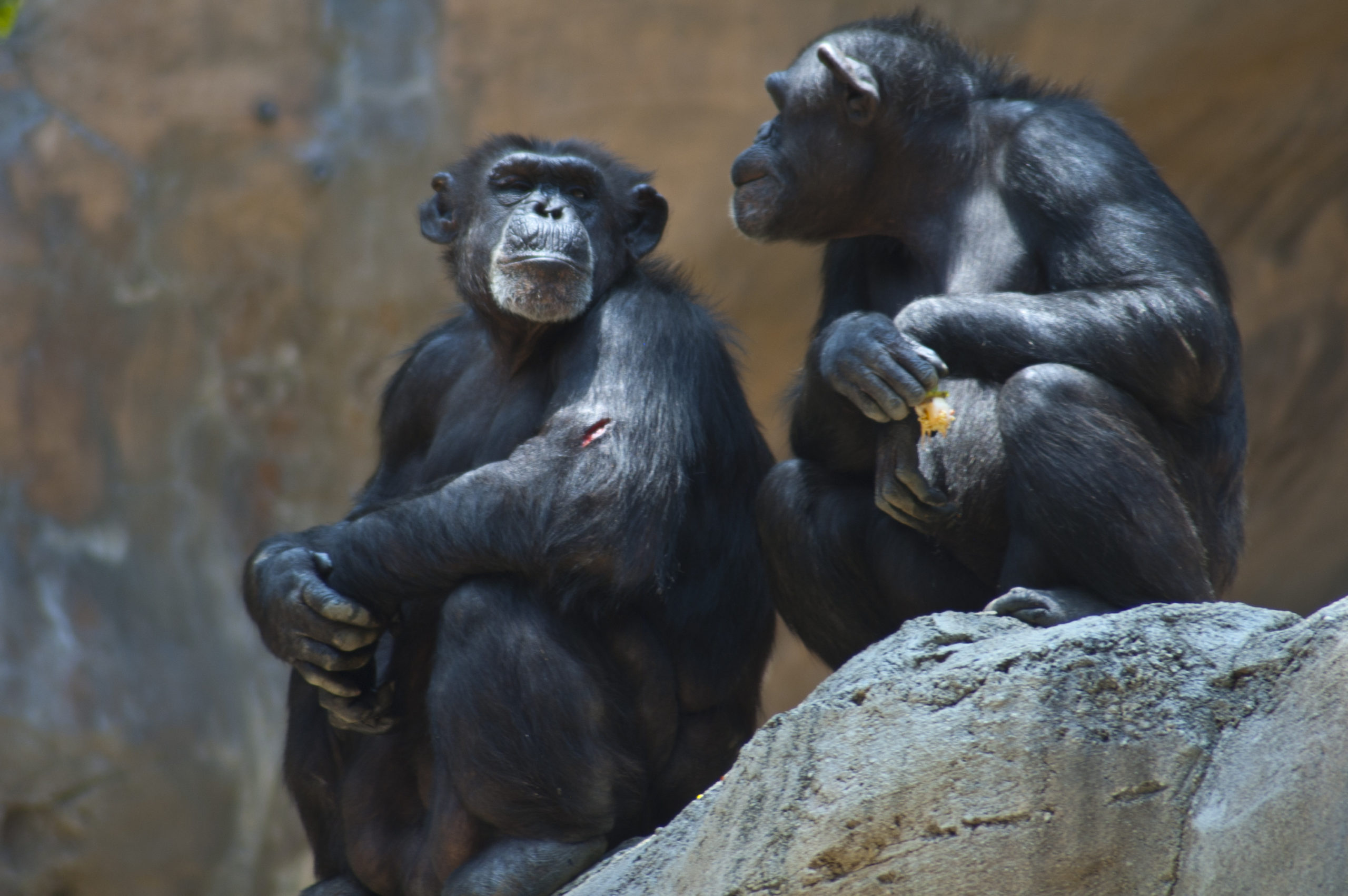 Two Mahale Mountain Chimpanzee at LA Zoo Chimps look at each other one open wound