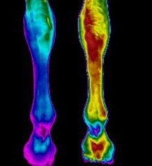 Skins IR - Veterinary/Equine - Collateral Ligament Damage - Monitoring recovery with Thermography