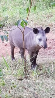 Skins - Conservation/ Veterinary - Tapir - Brazil
