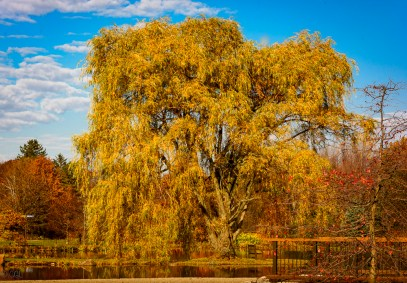 Golden willow tree