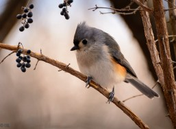 Tufted titmice are loaded with personality.