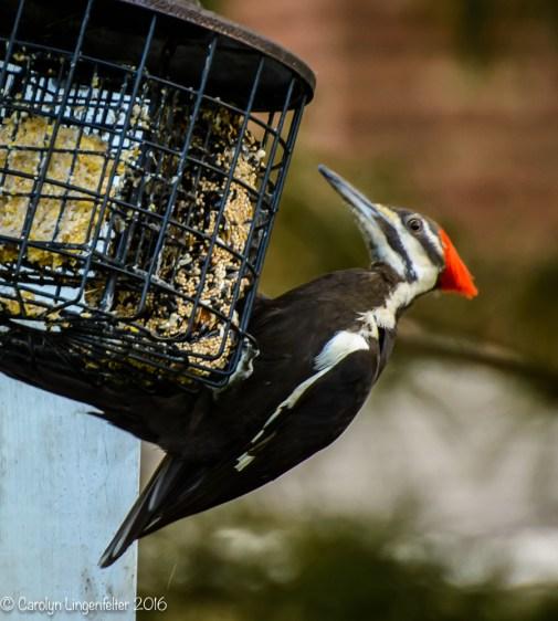 2016_06_15_backyard birding_back yard buffet_0070