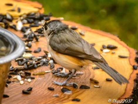 The titmouse's tuft is flattened!