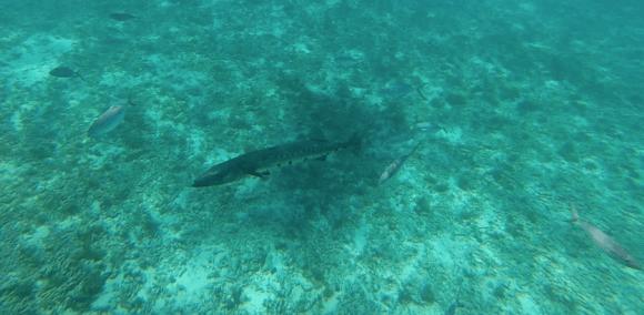 snorkeling en guadeloupe Baracouda