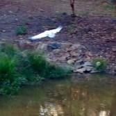 ibis 2