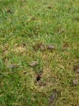 aerate-lawn-aerating-Overland-Park-Leawood-fall-seeding