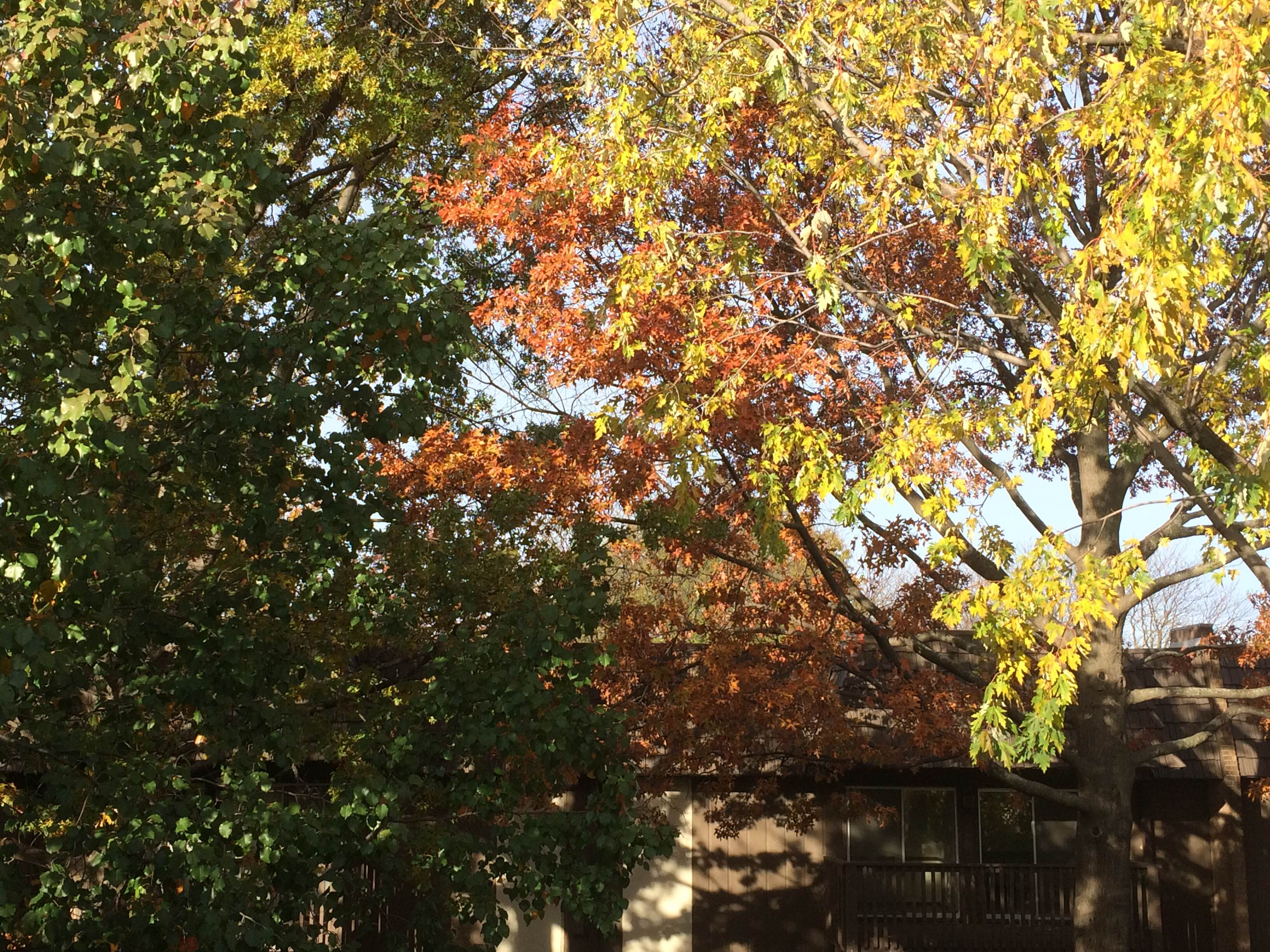 Tree leaves of kansas - Why Leaves Change Color In Kansas City Overland Park