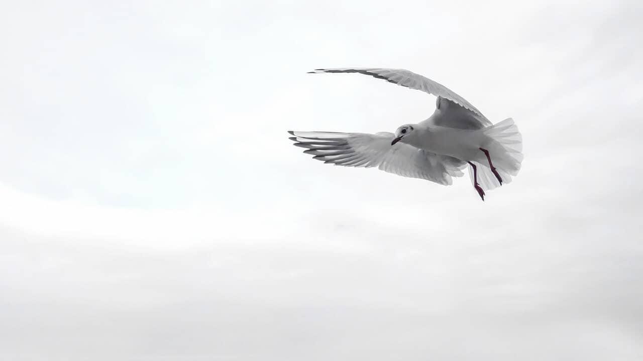 frelsi-fugl