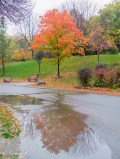 Orange&Yellow Tree and its reflection in a puddle